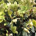 Helleborus HoneyHill Joy
