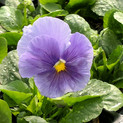 Pansy Delta Pure Light Blue