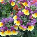 Nemesia Sunglow Yellow Bicolor