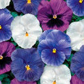 Pansy Delta Cool Water Mix