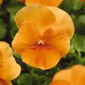 Pansy Spring Matrix Deep Orange