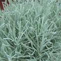Helichrysum Icicles