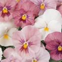 Pansy Pink Shades