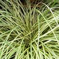 Carex Oshea Evergold