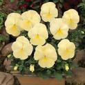 Pansy Spring Matrix Primrose