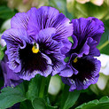 Pansy Frizzle Sizzle Blue