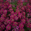 Alyssum Easter Bonnet Deep Rose