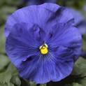 Pansy Delta True Blue