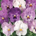 Pansy Lilac Shades
