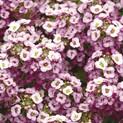 Alyssum Clear Crystal Lavender Shades