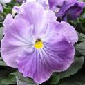 Pansy Spring Matrix Lavender Blue Shades