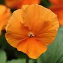 Pansy Panola Orange