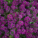 Alyssum Wonderland Deep Purple