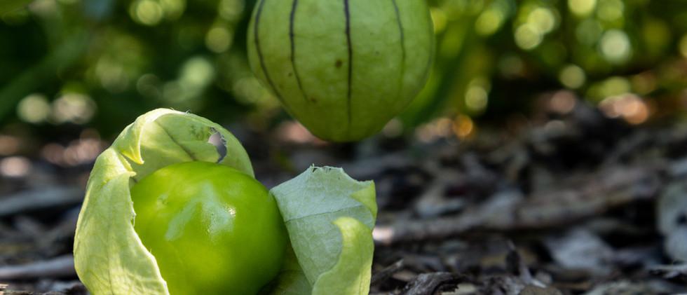 20200816IMG_3546Sandra Boivin-tomatillo.
