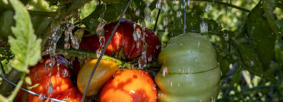 20200816IMG_3573Sandra Boivin-tomates.jp