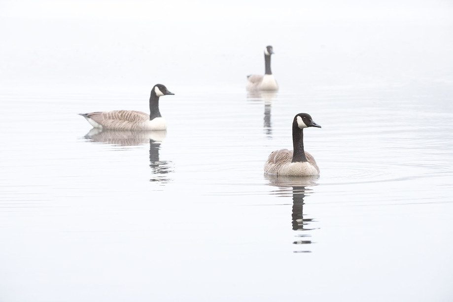 GEESE IN THE MIST
