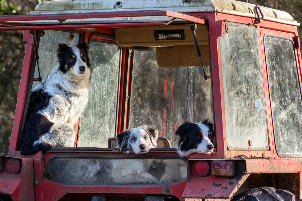 Working Dogs, Not Working