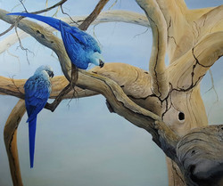 Spix Macaws return to the wild