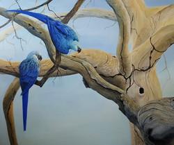 Spix Macaws return to the wild