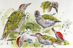 Green Woodpecker, Juv