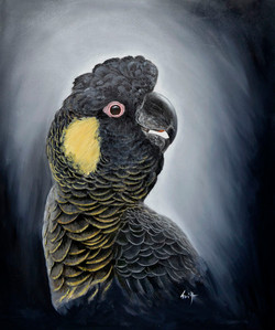 Yellow tailed tailed black Cockatoo