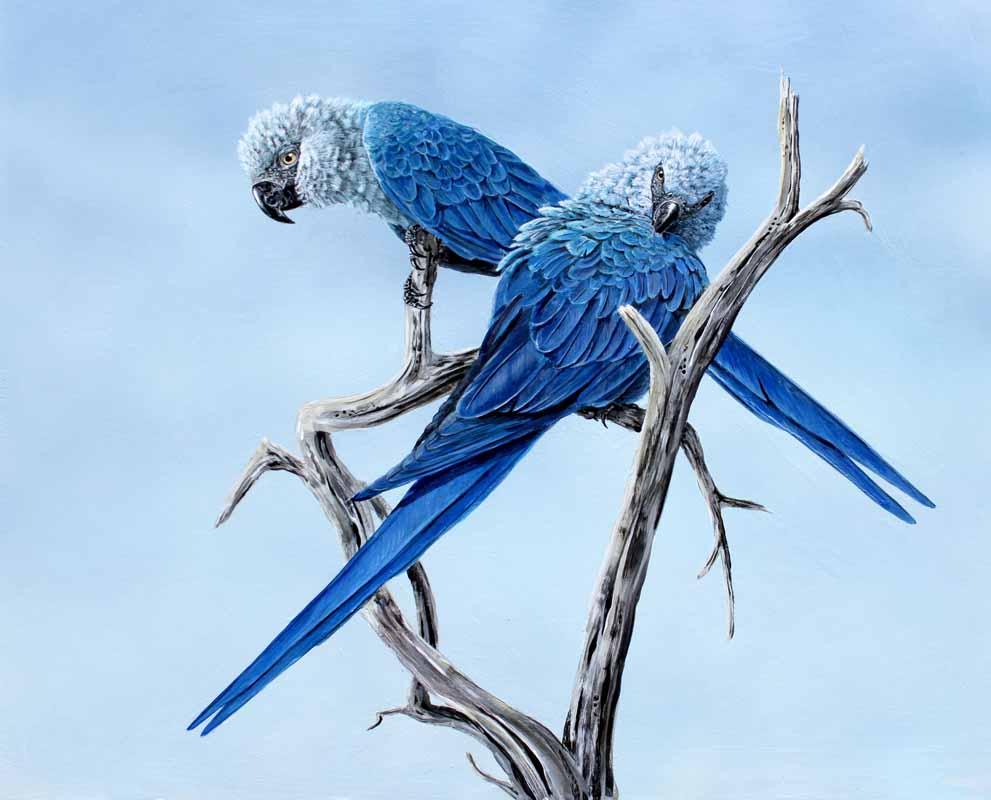 Hope. Spix Macaws