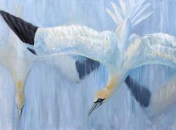 Gannets dive