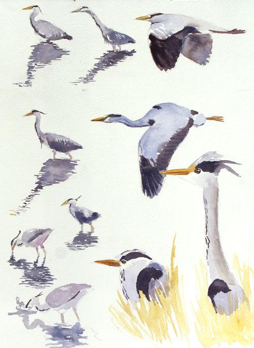 Heron study