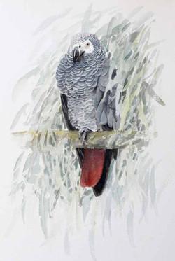 African grey Parrot sketch