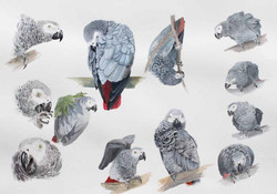 African grey Parrot study