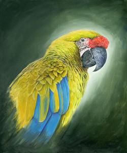Great green Macaw or Buffons