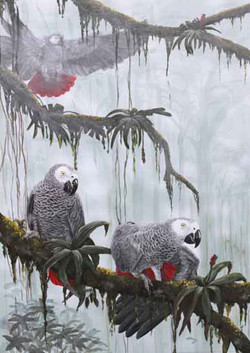 African grey Parrots, flying free
