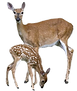 overlays-two-two-brown-deers-png-clipart
