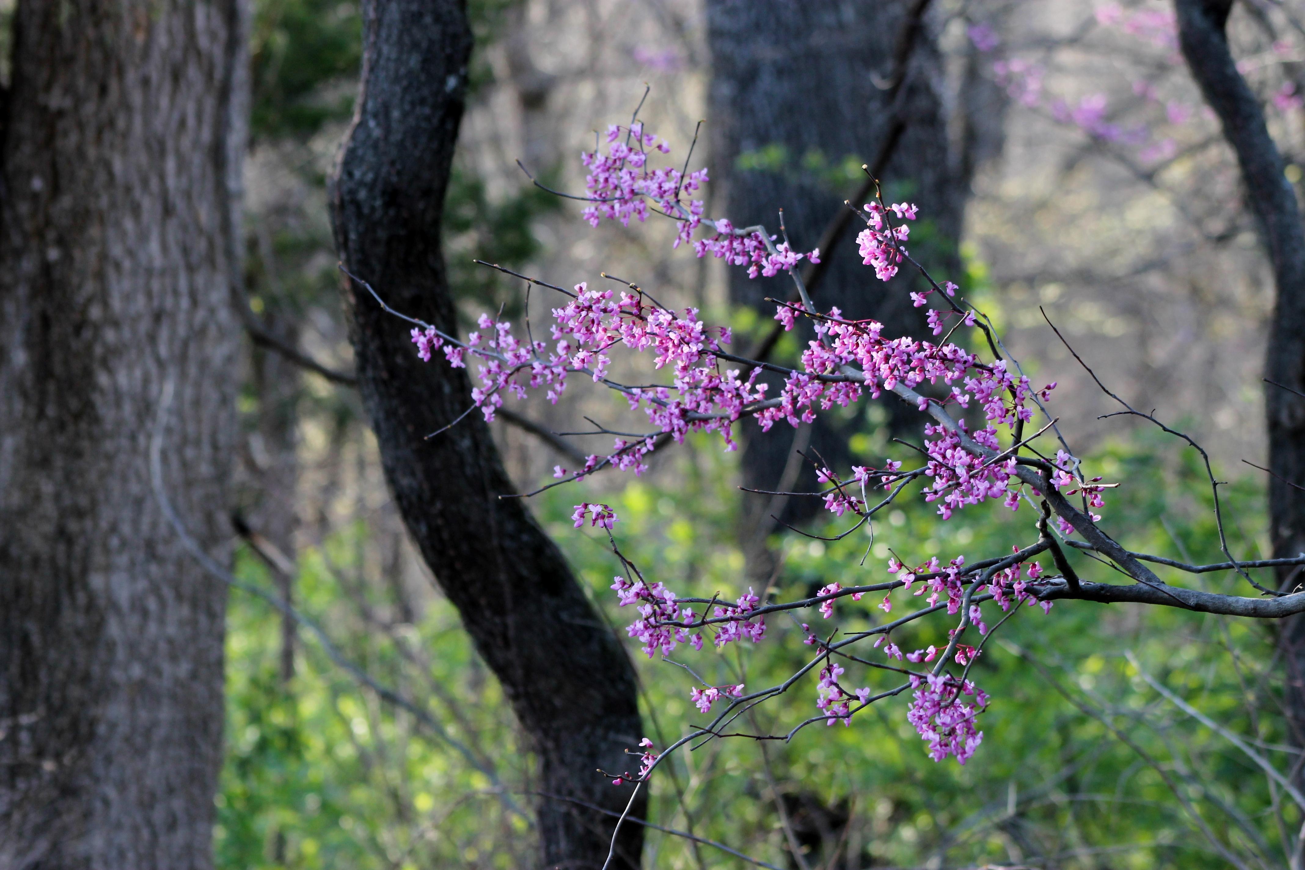 Ozark Purple