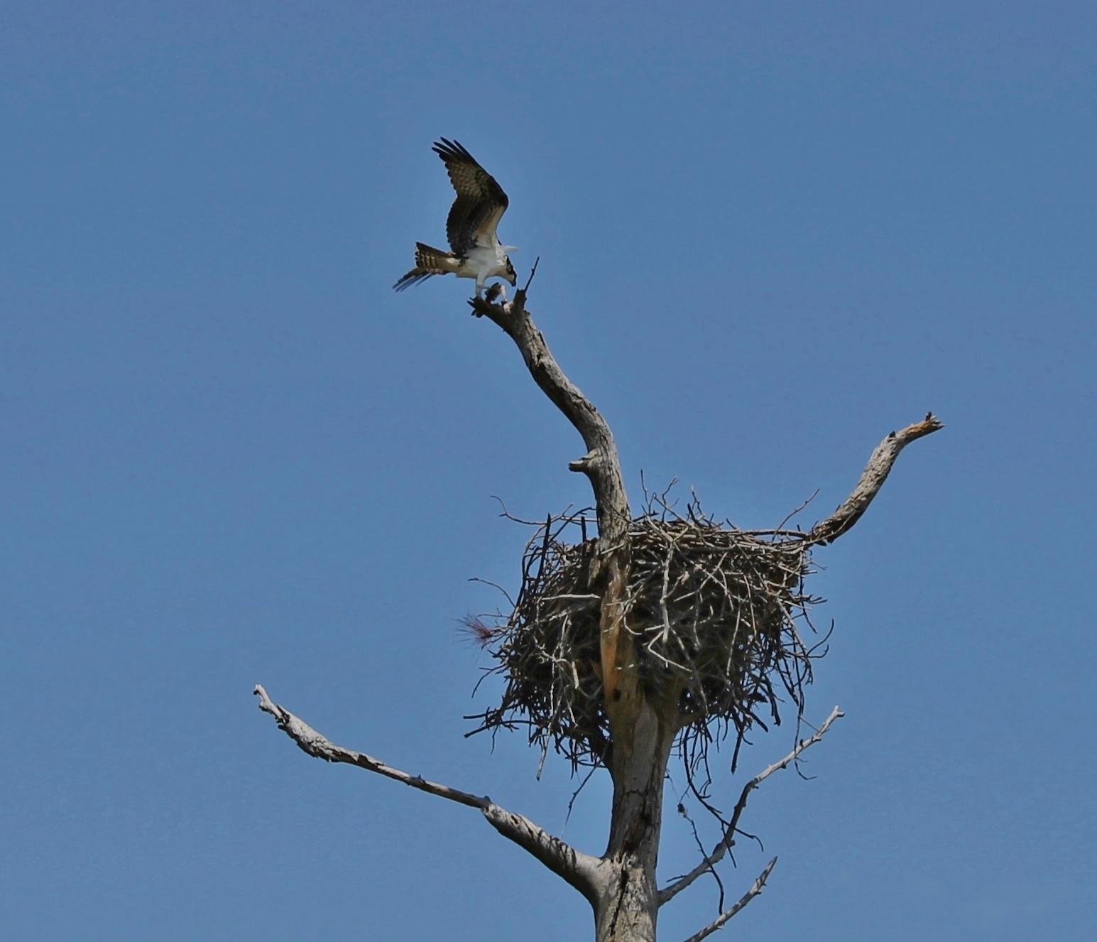 The Osprey Tree