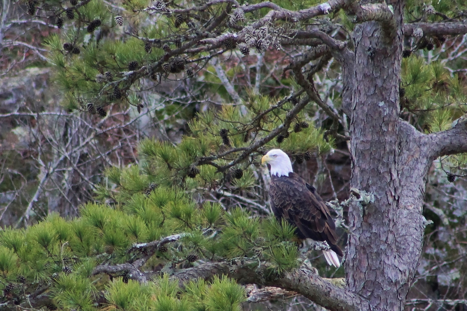 Eagle of the Pines