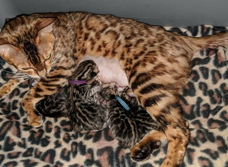 Twinkling Star's Babies are here. Beautiful Brown Rosetted Bengal Babies. Born 11-12-13
