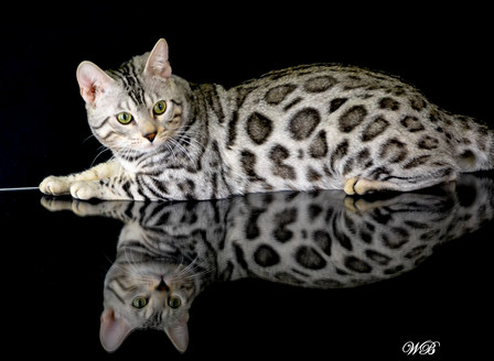 What to Expect with your Bengal. Is it the Right Breed for you?