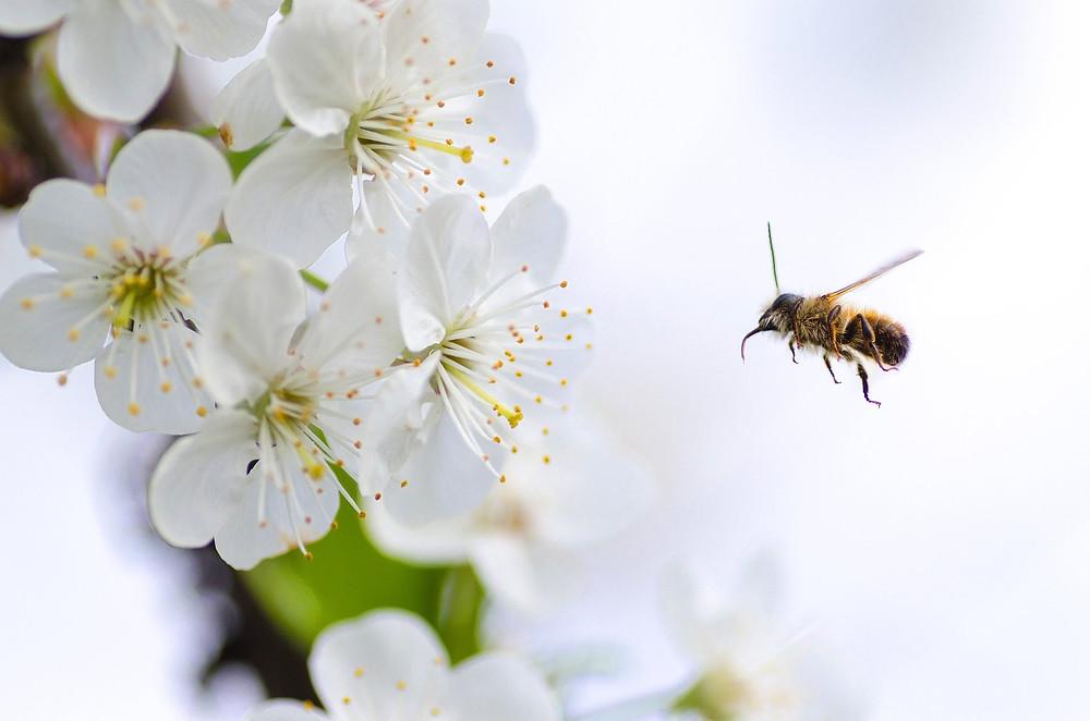 Eine Biene fliegt auf eine Blüte zu