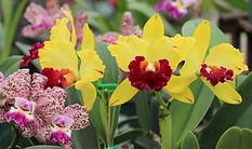 Orquídea-Catleya