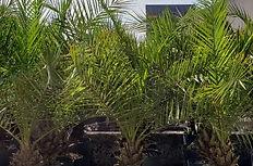 palmeira-cyca