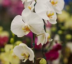 Orquídea-Phalaenopsis