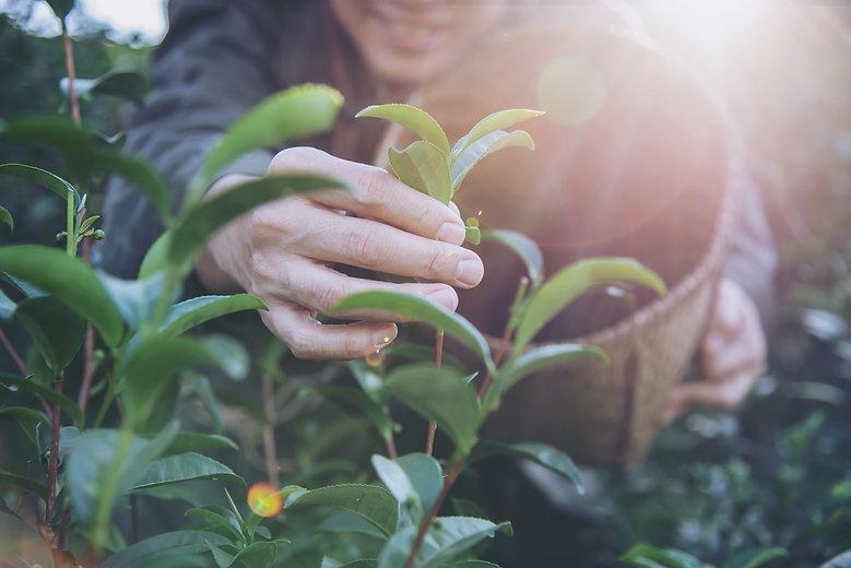 man-harvest-pick-fresh-green-tea-leaves-