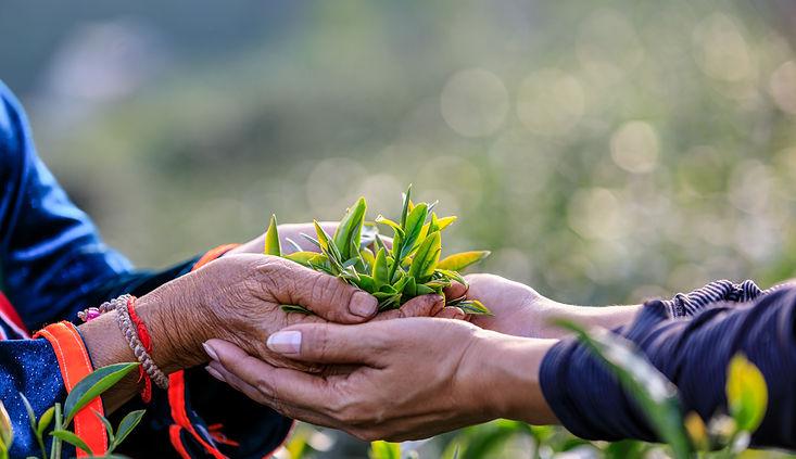 green-tea-leaves-holding-hand-two-farmer