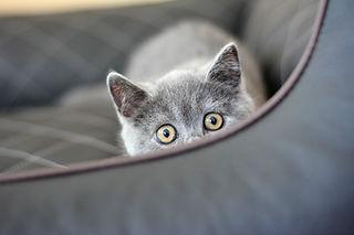 Britisch Kurzhaar, Katze grau, Shira