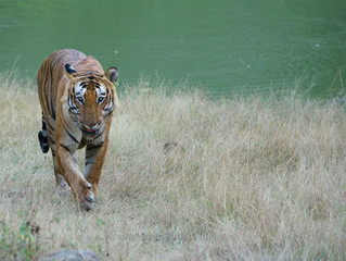 My second date with Prince, Royal Bengal Tiger of Bandipur