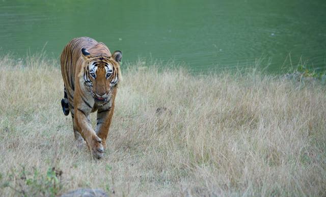 Prince, Royal Bengal Tiger of Bandipur