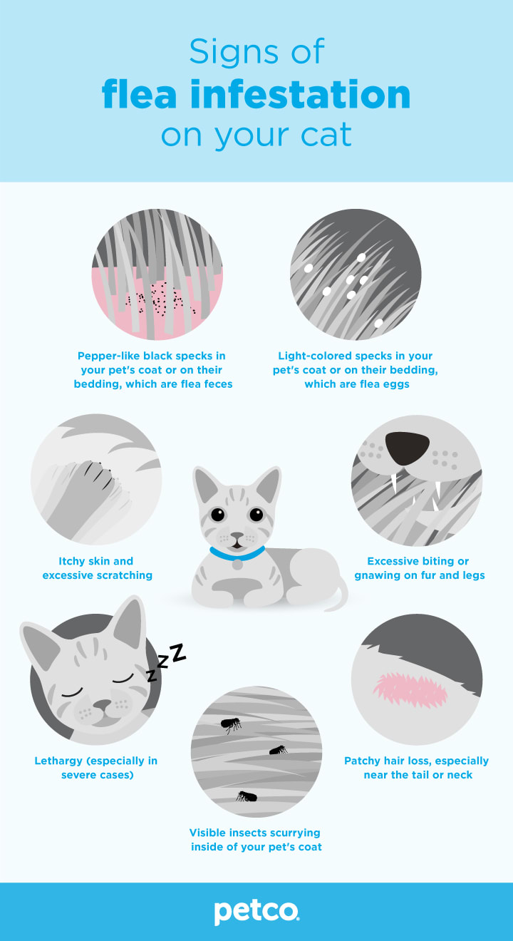 Signs of flea infestation on your cat