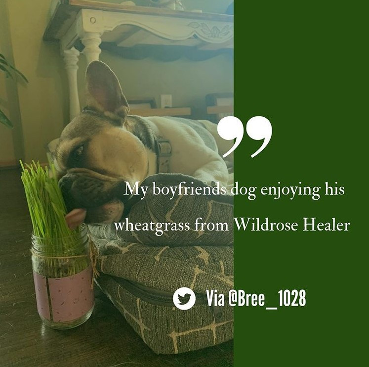 Wheatgrass is a healthy supplement for your dog's health. Wheatgrass growing Kits by Wildrose Healer