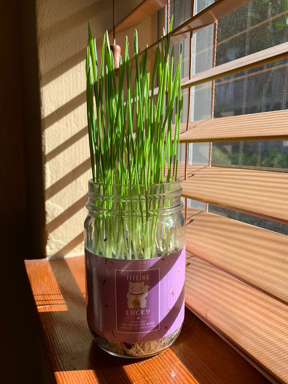 Wheatgrass Growing Kit fully grown by a windowsill